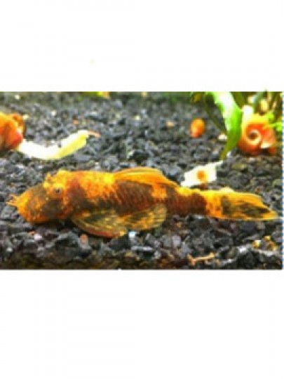 Ancistrus Red Brown